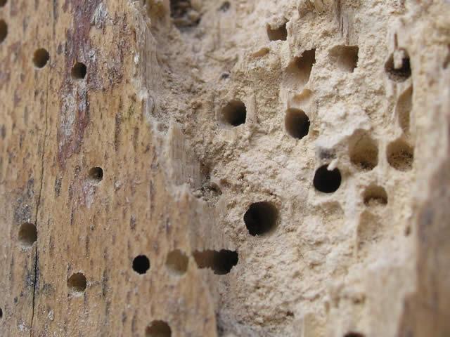 Houtwormen beschadigen het hout en kan de stevigheid van de constructie in gevaar brengen | houtworm bestrijden